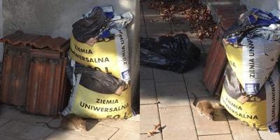 Szczurzy problem w centrum Wadowic