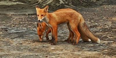 Jesienna akcja szczepienia lisów, uważajcie w lasach!